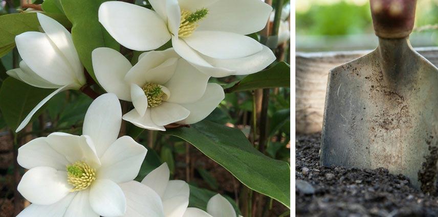 magnolia bien le planter en 4 tapes promesse de fleurs. Black Bedroom Furniture Sets. Home Design Ideas