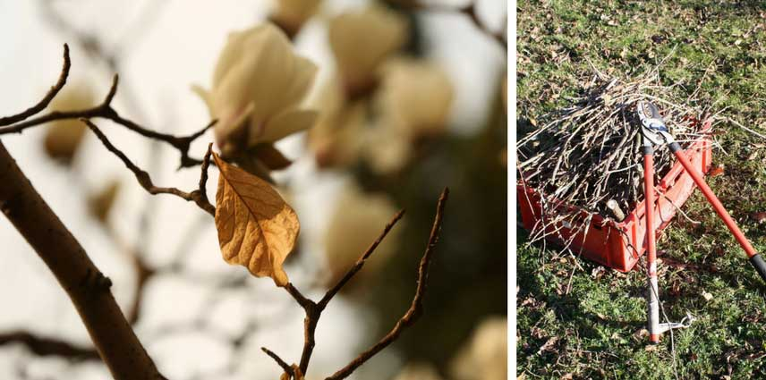 Magnolia quand et comment tailler blog promesse de fleurs - Comment tailler un magnolia ...