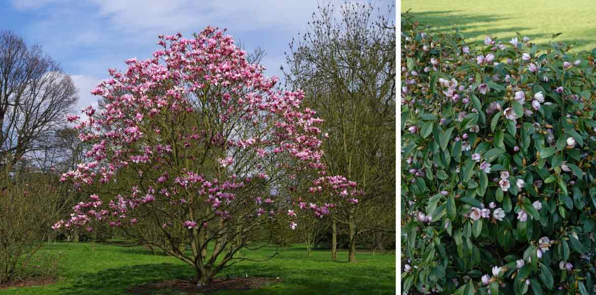 magnolias planter tailler et entretenir conseils jardinage promesse de fleurs. Black Bedroom Furniture Sets. Home Design Ideas