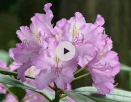 Comment planter un arbre de terre de bruyère ?