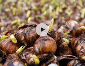 Planter des bulbes en massif, sans se fatiguer