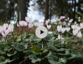 Planter des bulbes de Cyclamens