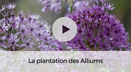 La plantation des Alliums