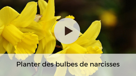Planter des bulbes de narcisses