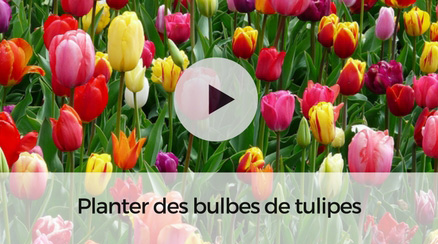 Planter des bulbes de tulipes