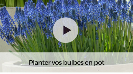 Planter vos bulbes en pot