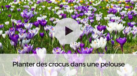 Planter des Crocus dans une pelouse