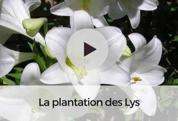 lilium broken heart hybride de lis asiatique lys fleurs spectaculaires et parfum es tr s. Black Bedroom Furniture Sets. Home Design Ideas