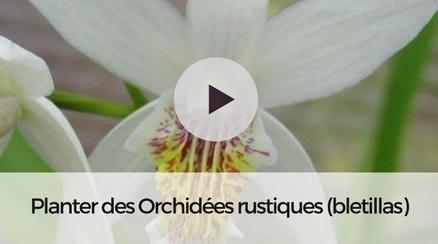 orchid e jacinthe bl tilla striata rose tr s belle. Black Bedroom Furniture Sets. Home Design Ideas