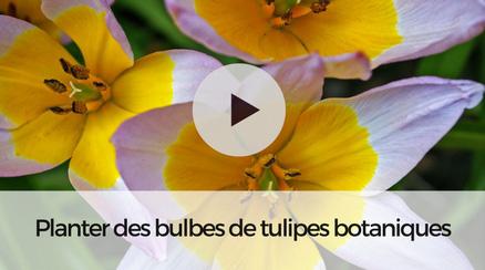 Planter des bulbes de tulipes botaniques