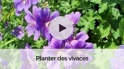 Comment planter les vivaces ?
