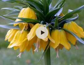 Planter les bulbes de fritillaire impériale