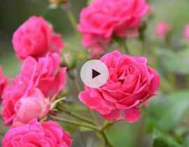 Comment planter un rosier en racines nues ?