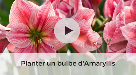 Amaryllis papilio un hippeastrum unique au couleurs vert for Amaryllis plantation en pot