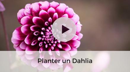 Planter un dahlia