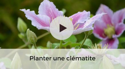 Planter une Clématite