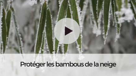 Protéger les bambous de la neige
