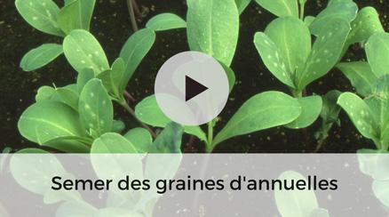 Semer des graines de plantes annuelles