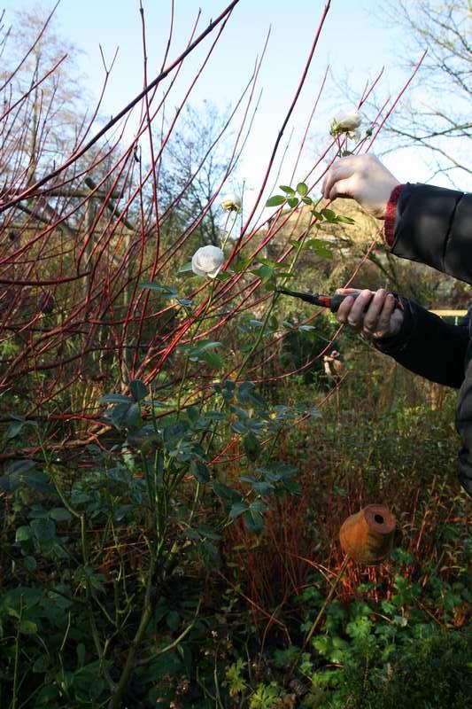 La taille des rosiers en automne conseils pratiques - Taille des rosiers automne ...