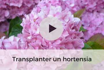 foto de Hydrangea arborescens Annabelle Hortensia aux énormes