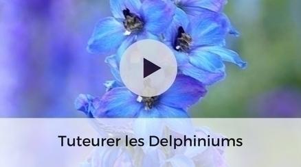 Tuteurer les delphiniums