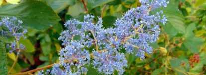 Céanothe, lilas de Californie : plantation, entretien, taille