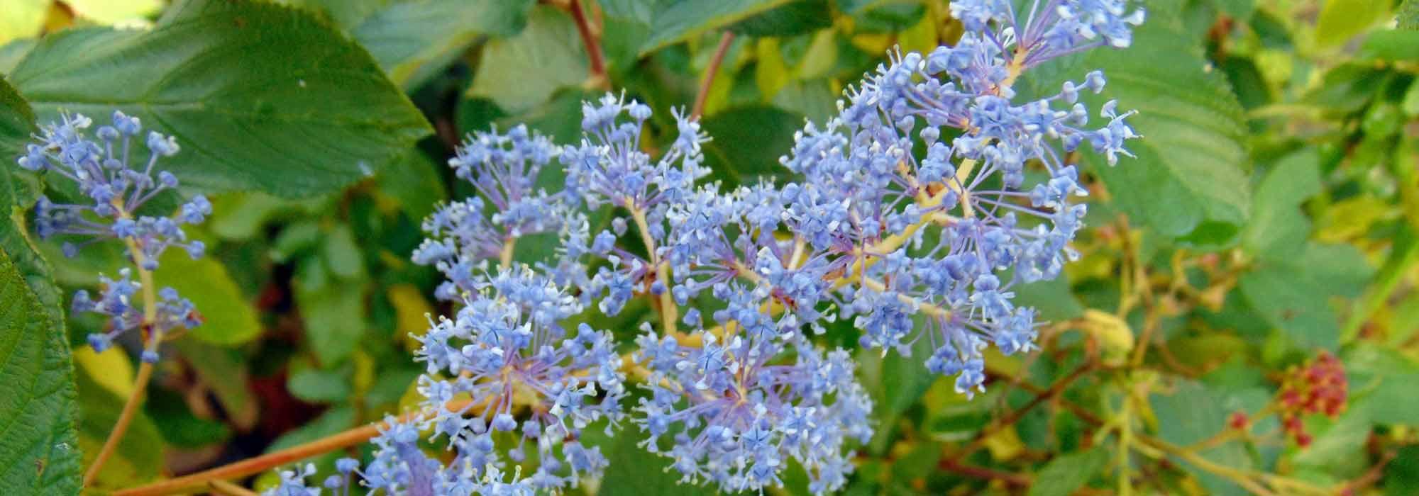 C anothe lilas de californie plantation entretien for Entretien jardin versailles