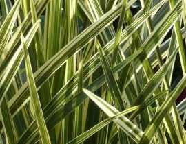 Cordyline : planter, cultiver, entretenir