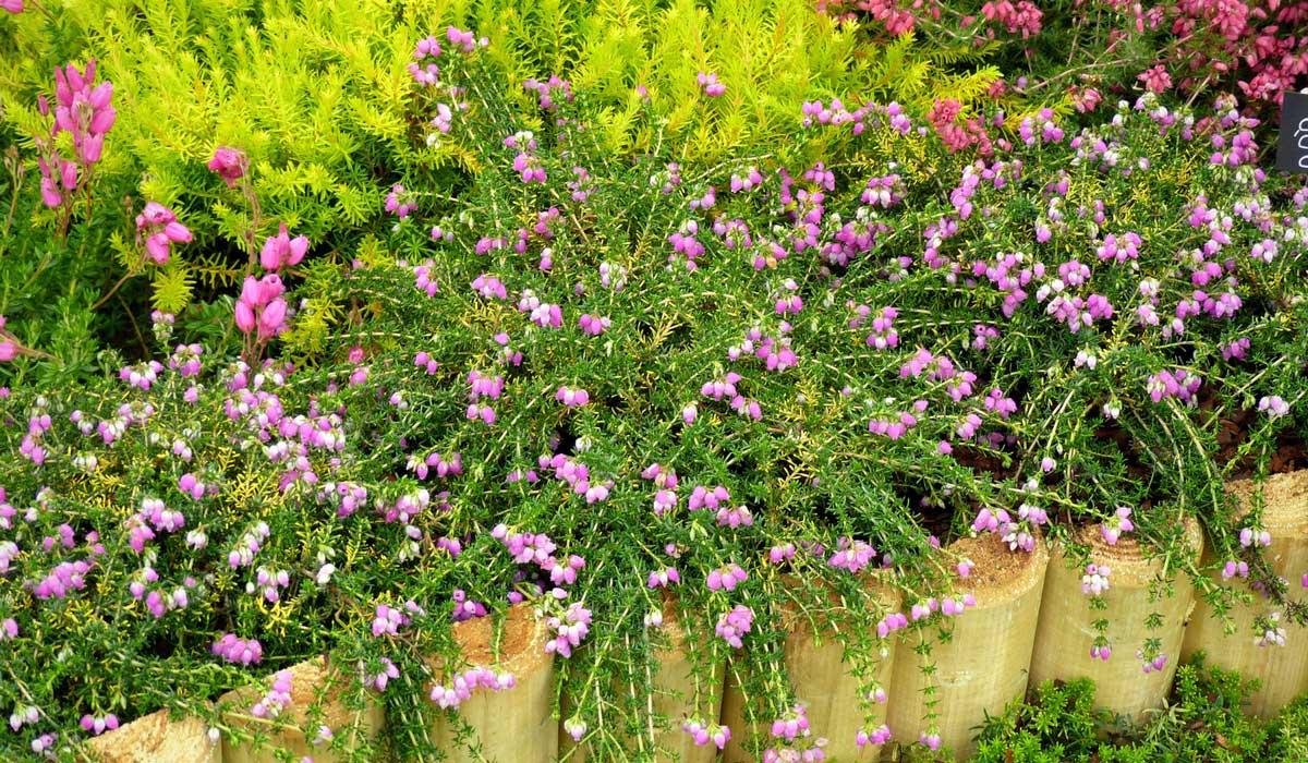 Que Mettre Avec Des Bruyeres bruyères d'été ou d'hiver : comment les planter et les