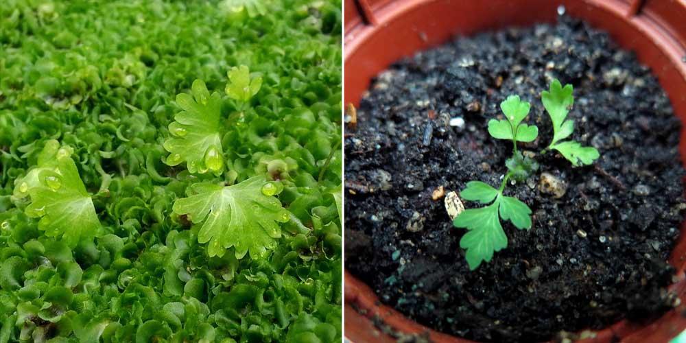 De jeunes fougères après un semis de spores