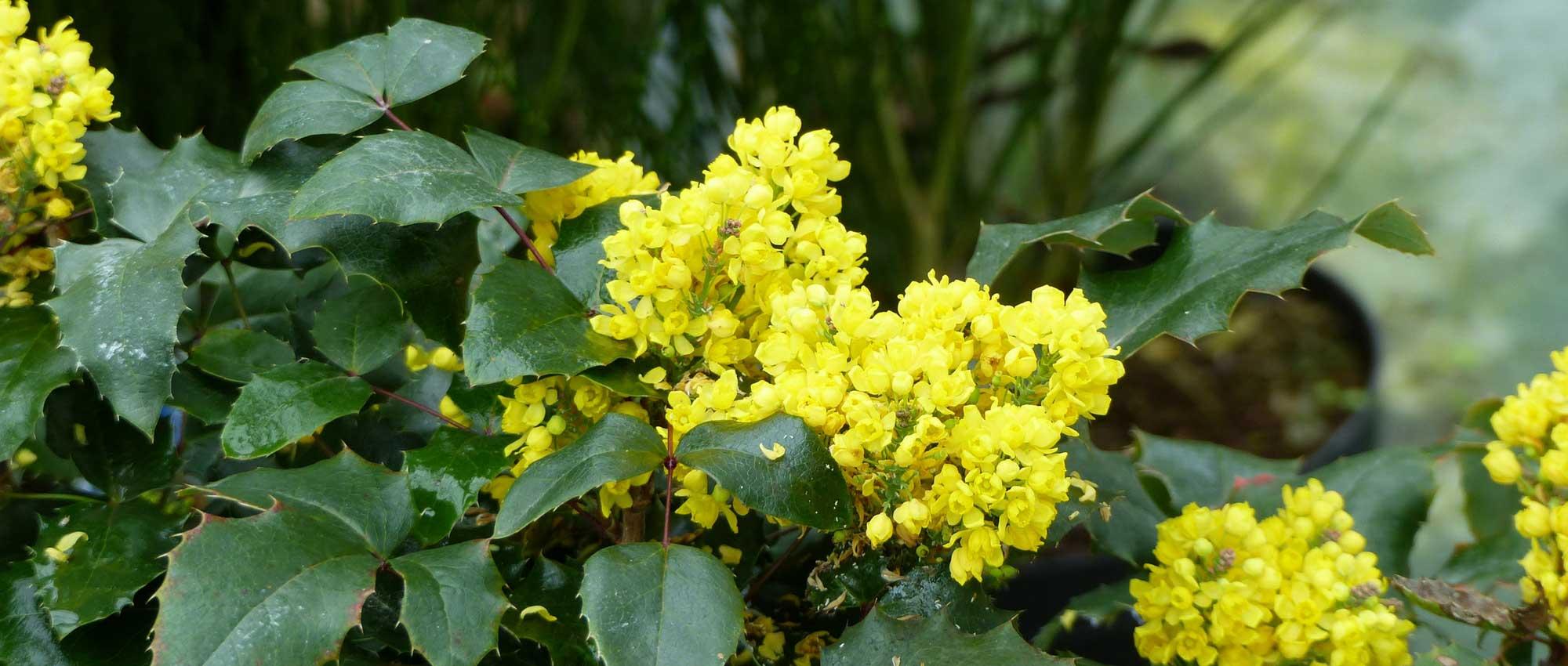 Comment Faire Une Pousse De Houx mahonia : comment le planter, le tailler et l'entretenir ?