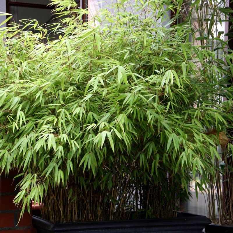 bambou en pot pour terrasse perfect bien bac pour bambou terrasse oregistro brise vue jardin. Black Bedroom Furniture Sets. Home Design Ideas