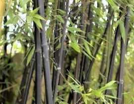 Faut-il planter du bambou dans son jardin?