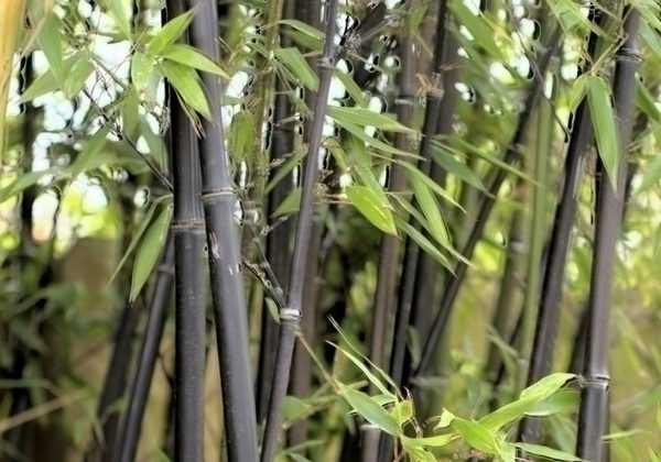 Entretien et taille du bambou fiche conseil pratique - Entretien des bambous ...
