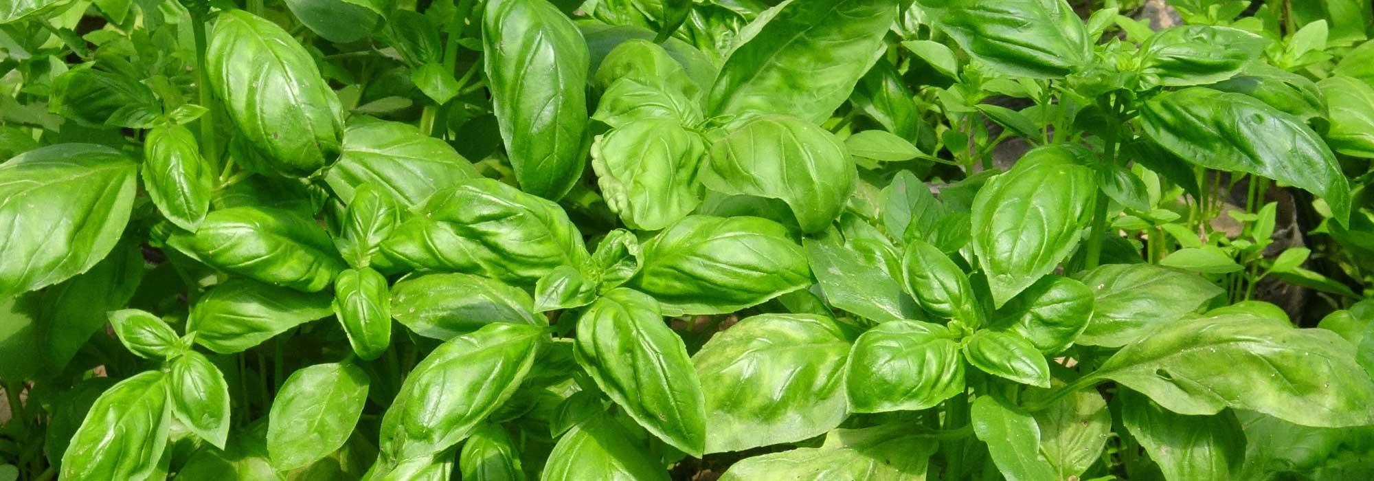 Entretenir Un Pied De Basilic basilic : le planter et le cultiver au jardin ou en pot