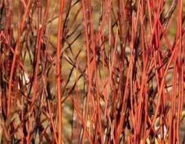 5 arbustes à bois coloré qu'il faut avoir dans son jardin d'hiver