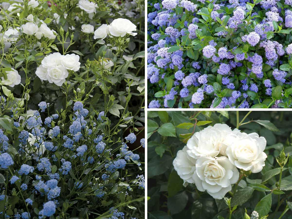 C anothe lilas de californie plantation taille et - Quand tailler rosier ...
