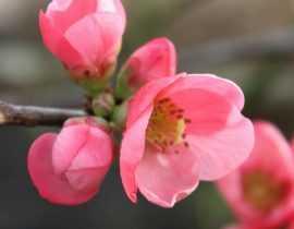 Cognassier du Japon : planter, tailler et entretenir