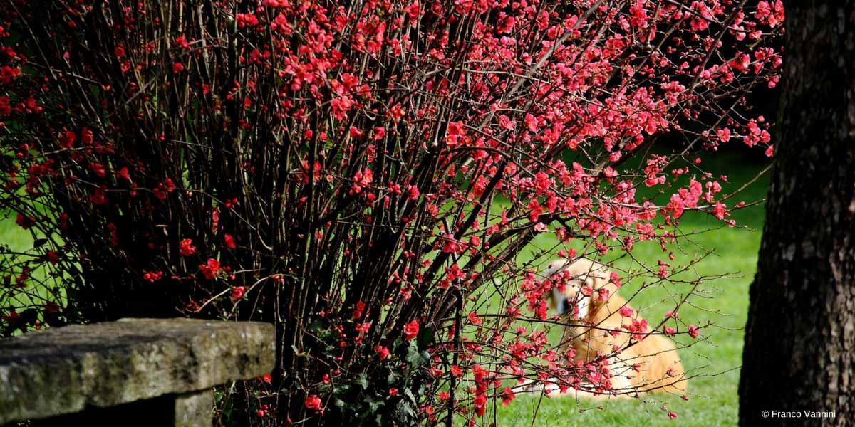Cognassier du japon chaenomeles plantation taille et - Cognassier du japon taille ...