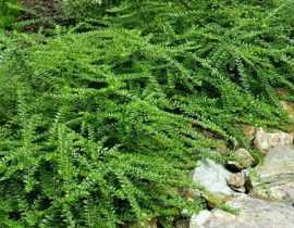 5 arbustes couvre-sols pour aménager un talus