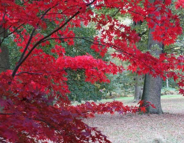 erable du japon bleu top bleu canada rable montral feuilles ciel arbres automne qubec contre. Black Bedroom Furniture Sets. Home Design Ideas