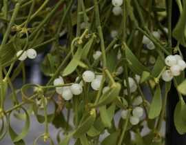 Le Gui, une bien jolie plante parasite qui porte bonheur !