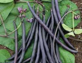 Haricots à rames : 5 bonnes raisons de les cultiver