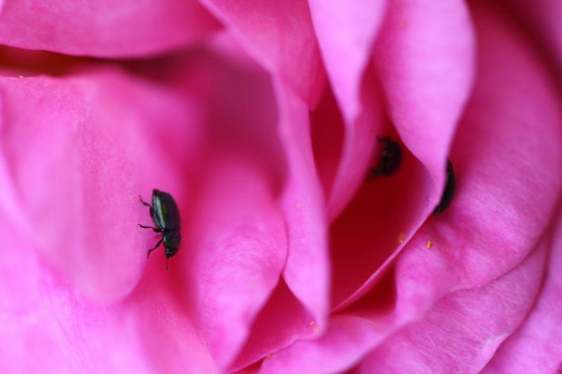 rosiers pucerons et autres ravageurs traitement et pr vention promesse de fleurs. Black Bedroom Furniture Sets. Home Design Ideas