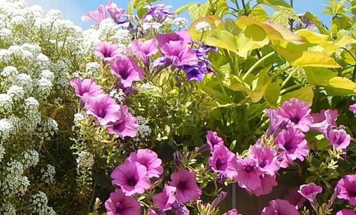 Comment planter des jardinières et suspensions avec des annuelles en minimottes ?