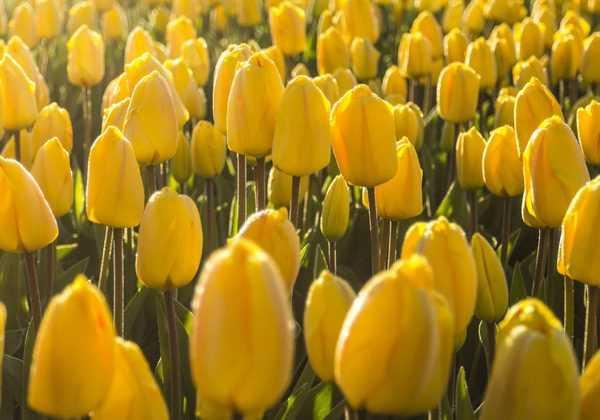 Comment rater ses tulipes en 5 leçons