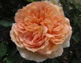 Bathsheba, un rosier anglais grimpant à l'esthétique originale et raffinée