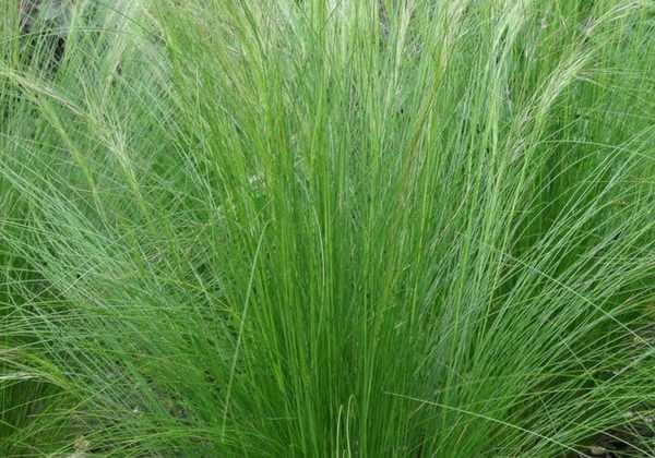 Graminées : les Cheveux d'Ange ou Stipa tenuifolia, on en fait quoi ?