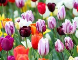 Tulipes : comment bien les choisir en 3 points ?
