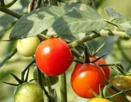 Tuteurer les tomates